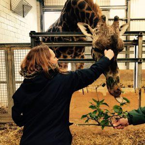 Giraffe feeding Paignton Zoo