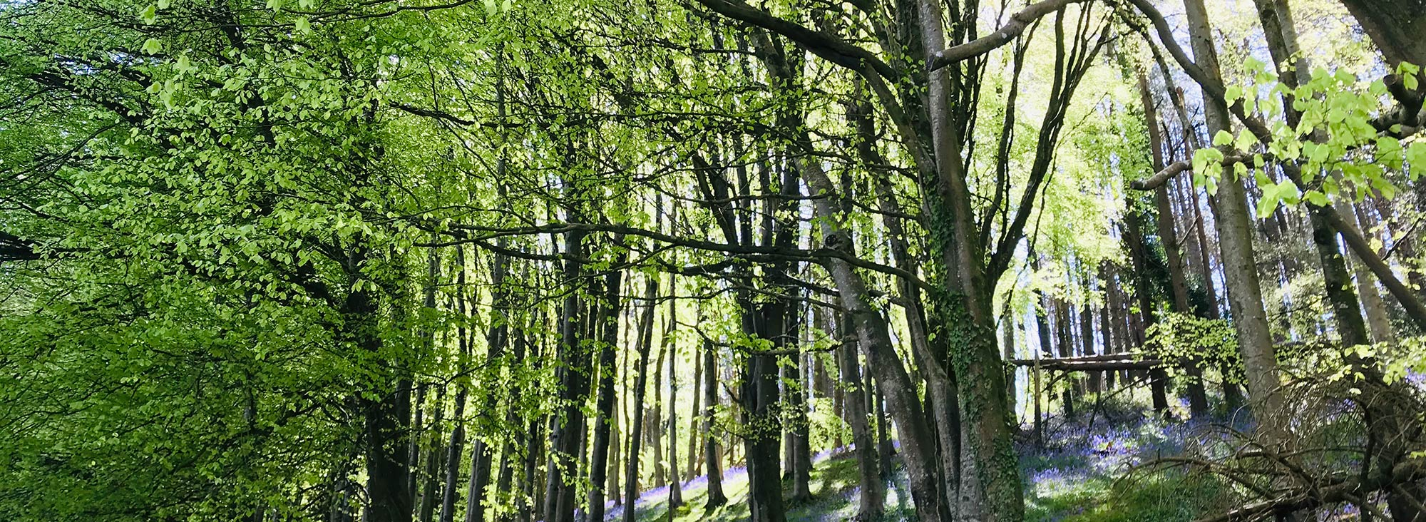 Langdon forest trees and bluebells